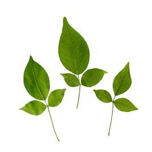 Bel leaf