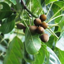 Vibhitaki fruit