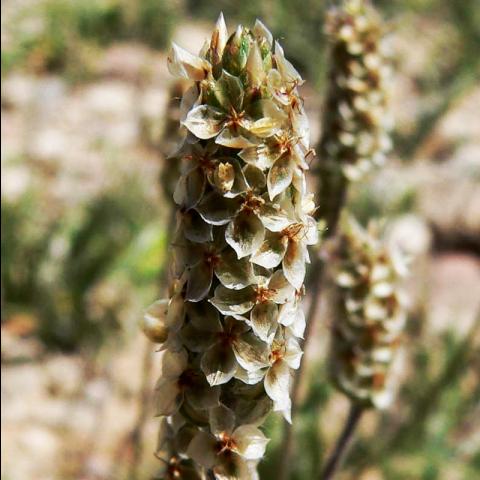 Psyllium Husk - plant