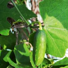 Bimbi leaf