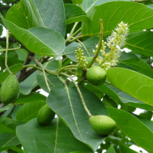 Haritaki fruit
