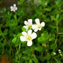 Brahmi hel plante