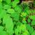 phyllanthus whole plant